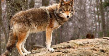 Coyote crea el mundo. Mito kiliwa.