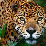 Los Jaguares Cósmicos. Leyenda lacandona.