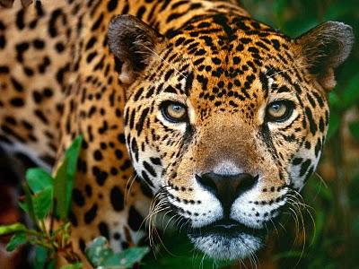 Jaguar cosmico