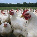 Los pollos hechizados