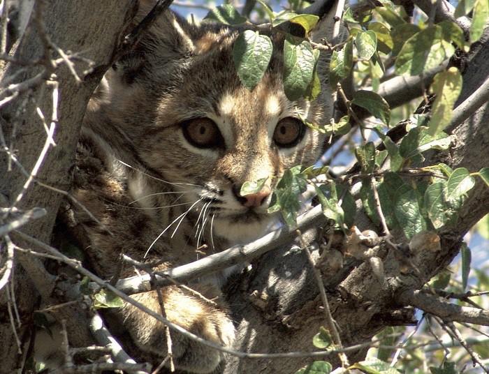 El Gato Montés y el Tecolote
