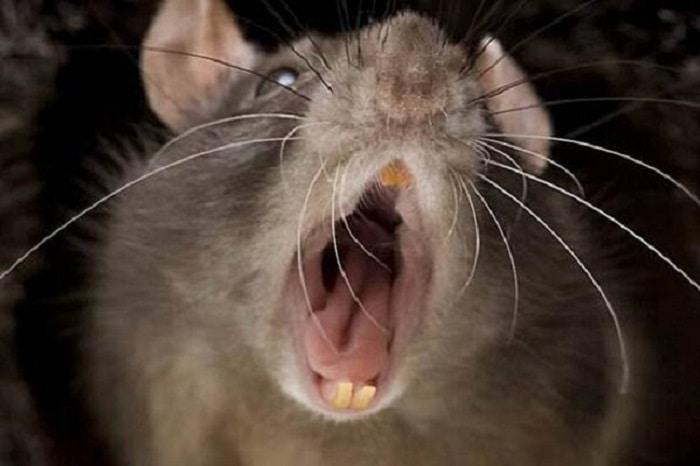 Carlitos y la rata