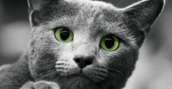 El gato gris
