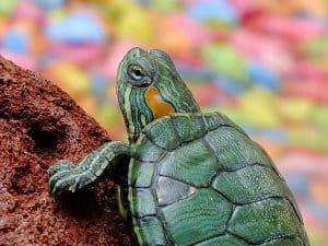 La bella tortuga que quiso ser fea