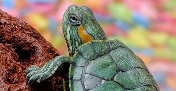 La tortuga que quiso ser fea