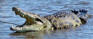 El cocodrilo engañado se enoja.