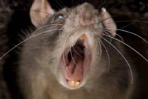 La enorme rata de la Merced