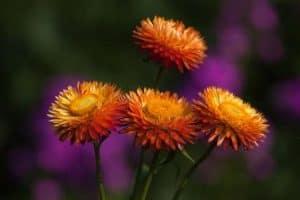 La bella flor de siempreviva