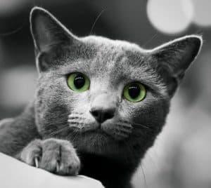El vengativo gato gris